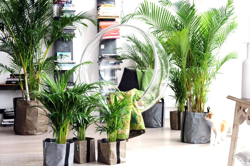 De areca palm of goudpalm